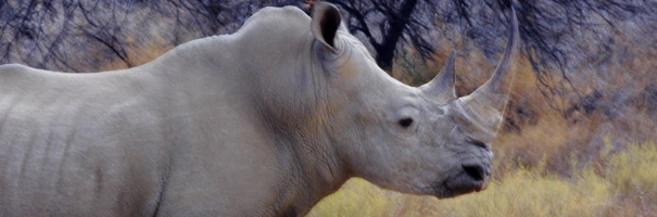 Rhinoceros at Etosha National Park
