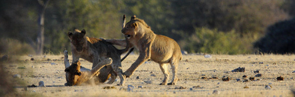 African Lions Romping Around