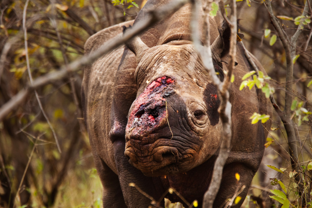 Horn cut off by poachers while still alive