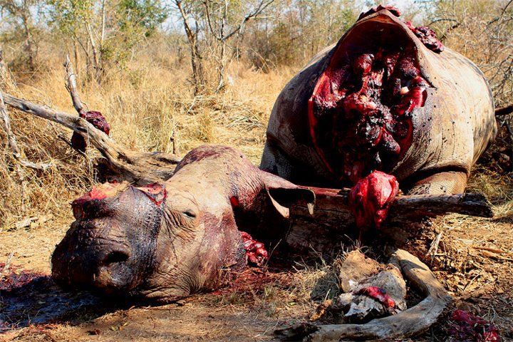 Another Rhino slaughtered