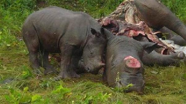 Calf morns Mother Rhino's slaughter