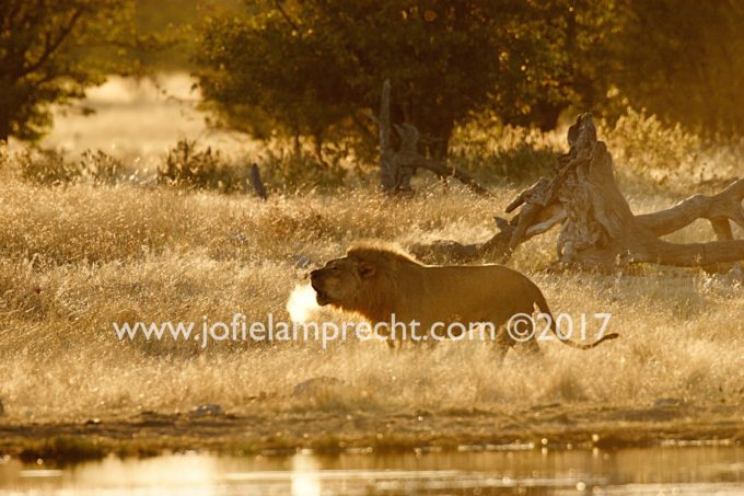 Lion Lessons - as published in Game and Hunt magazine by Jofie Lamprecht