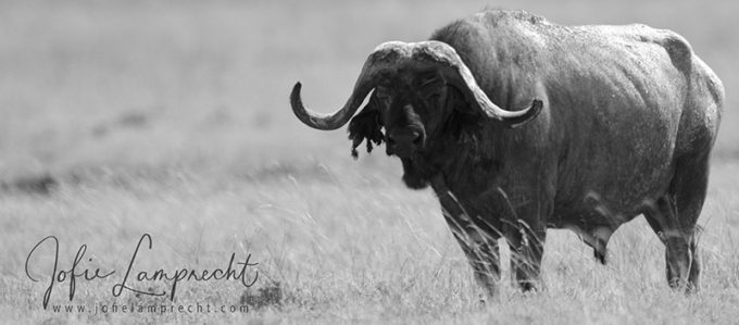 BUFFALO HUNTING … more than half of my life